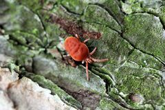 Free Bright Red Clover Mite Crawling Over Mossy Pine Bark Royalty Free Stock Photos - 183228888