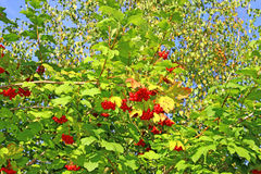 Bright red clusters of berries of Viburnum on the branches Royalty Free Stock Photos