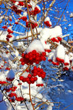 Bright red clusters of berries of Viburnum on the branches in th Stock Image