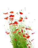 Bright Red Corn Poppies Isolated on White (Papaver Stock Images