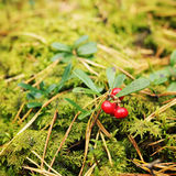 Bright red cowberry in the forest. Berry Picking. Stock Photography