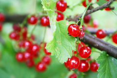 Bright red currant. My summer holidays in the village Stock Images