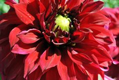 Bright red dahlias on green bush, petals close up detail, soft blurry bokeh. Background royalty free stock images