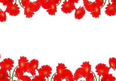 Bright red daisies on a white background Stock Photography