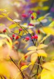 Bright red dog rose berries among foliage Royalty Free Stock Photos