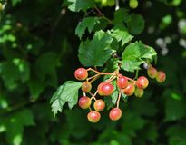 Bright red berries and green leaves of Maple leaf viburnum. Bright red early berries of the Maple leaf viburnum Viburnum acerifolium. Green leaves look like Royalty Free Stock Images