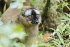 Bright red eyes on a Golden bamoo lemur portrait in Madagascar wildlife Royalty Free Stock Photos