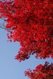 Bright red fall foliage. Intense red leaves of this tree against bright blue sky in the Fall season stock image