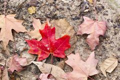Bright red fall leaf against brown leaves. Bright red fall leaf against background of brown leaves. Horizontal photo great for blog posts, social media & quote stock images