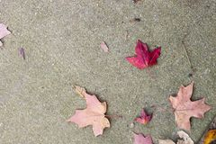 Bright red fall leaf against grey pavement. Bright red fall leaf with other fallen leaves against grey pavement stock photography