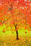 Bright red fall leaves. In park stock photo