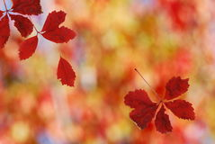 Bright red falling leaves. Shallow focus on bright red falling leaves stock images