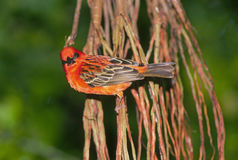 Bright red finch Royalty Free Stock Images
