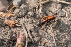 bright red fire bug running over a stone in search of food stock photos