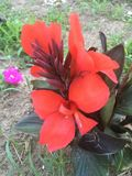 Bright red fire flower Royalty Free Stock Photos