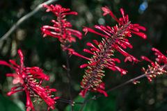 Bright red Firespike flowers Stock Images
