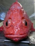 The bright red fish looks at me stock photography