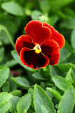 Bright red flower Stock Photography