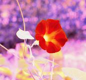 Bright Red Flower In A Meadow With Purple Bokeh Background stock image