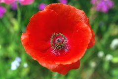 Bright red flower poppy Royalty Free Stock Image