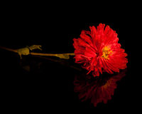Bright red flower with reflection on black Stock Photography