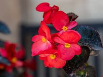 Red young garden wax begonia flowers with leaves stock photos