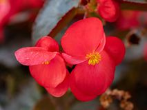 Red young garden wax begonia flowers with leaves royalty free stock images