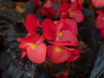 Red young garden wax begonia flowers with leaves. The bright red flower of summer bedding plant Begonia semperflorens, also known as wax begonia stock image