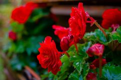 Red begonia flower blooming in the garden after rain royalty free stock image