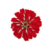 Bright red flower zinnia isolated Stock Images