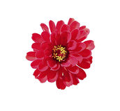 Bright red flower zinnia isolated Royalty Free Stock Images