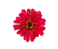 Bright red flower zinnia isolated Royalty Free Stock Photos