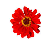 Bright red flower zinnia isolated Stock Image