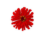 Bright red flower zinnia isolated Stock Photography