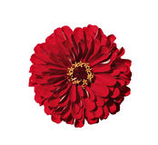 Bright red flower zinnia isolated Royalty Free Stock Photography