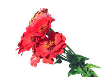 Bright red flower zinnias Stock Photos