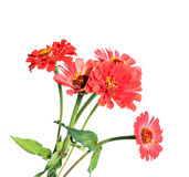 Bright red flower zinnias isolated Stock Photography
