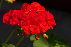 Bright red flowers bloom Stock Images