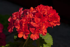 Bright red flowers bloom Royalty Free Stock Photo