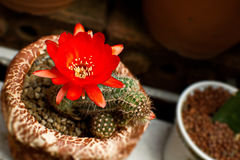 Bright Red Flowers blooming on Torch cactus Royalty Free Stock Photos