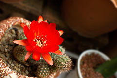 Bright Red Flowers blooming on Torch cactus Stock Photos