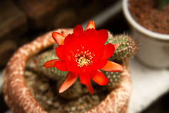 Bright Red Flowers blooming on Torch cactus Royalty Free Stock Photo