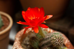 Bright Red Flowers blooming on Torch cactus Royalty Free Stock Images