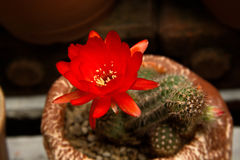 Bright Red Flowers blooming on Torch cactus Stock Photography