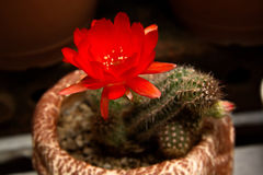 Bright Red Flowers blooming on Torch cactus Stock Image
