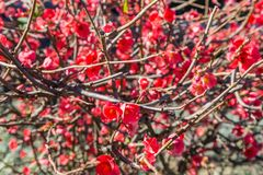 Bright red flowers on branch plant Stock Photography