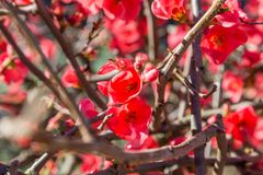 Bright red flowers on branch plant Stock Images