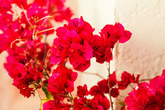 Bright red flowers of Bugenvilliya on a background of terrace Stock Photos