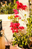 Bright red flowers of Bugenvilliya on a background of terrace Royalty Free Stock Photo