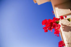 Bright red flowers of Bugenvilliya on a background of terrace Stock Photography
